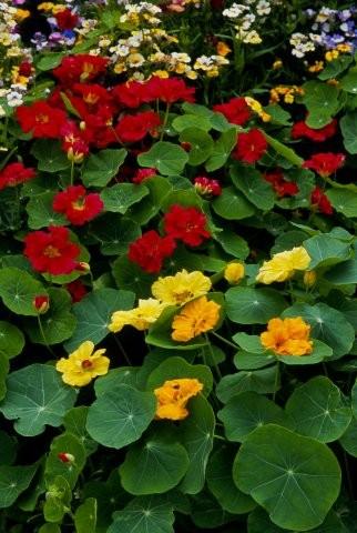 Lichořeřišnice - bylina i okrasa zahrádek či balkónů