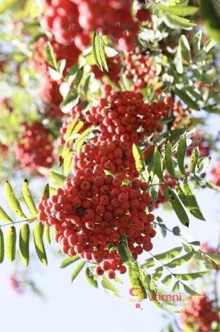 Jeřabiny: Opomíjené ovoce podzimu v marmeládách i kompotech