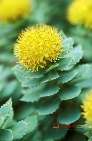 Rozchodnice růžová - zázračná rostlina