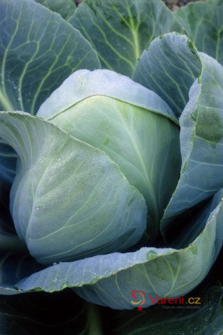 Hlávkové zelí: Pokladnice vitamínů na zimu