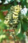 Vinobraní  - burčák