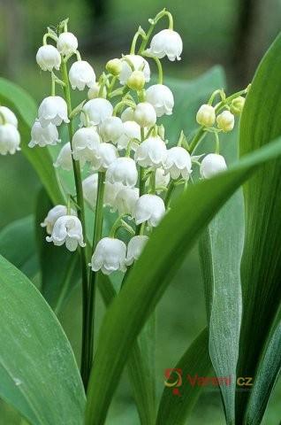 Valentýnská řeč květin