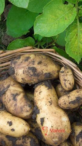 Způsoby pěstování brambor