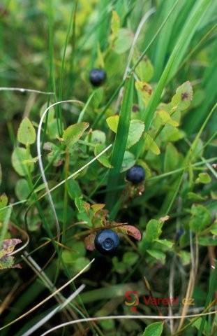 Borůvka černá - nenápadná léčivka s pestrým využitím v kuchyni