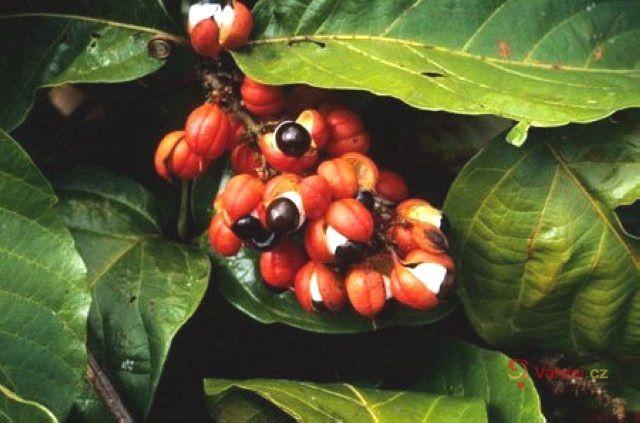 Stimulant guarana
