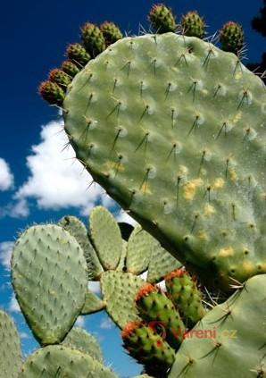 Jedlý kaktus - pichlavá hruška