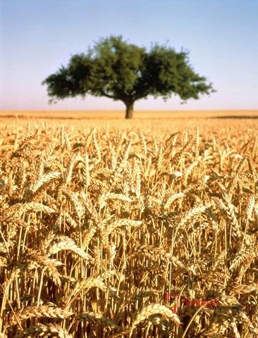 Pšenice špalda