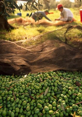 Olivový olej - elixír ze Středomoří 2.díl