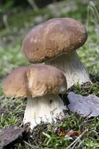 Ragú, guláš, sekaná i houbový kuba: Pokrmy z hub, na které nedáme dopustit