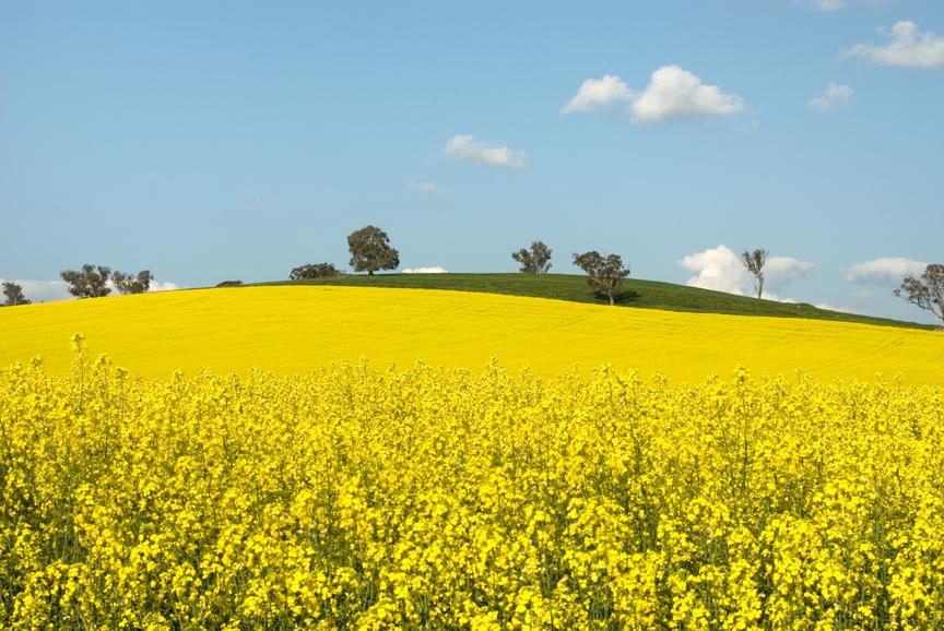Krajina září žlutě - máme se radovat nebo bát?