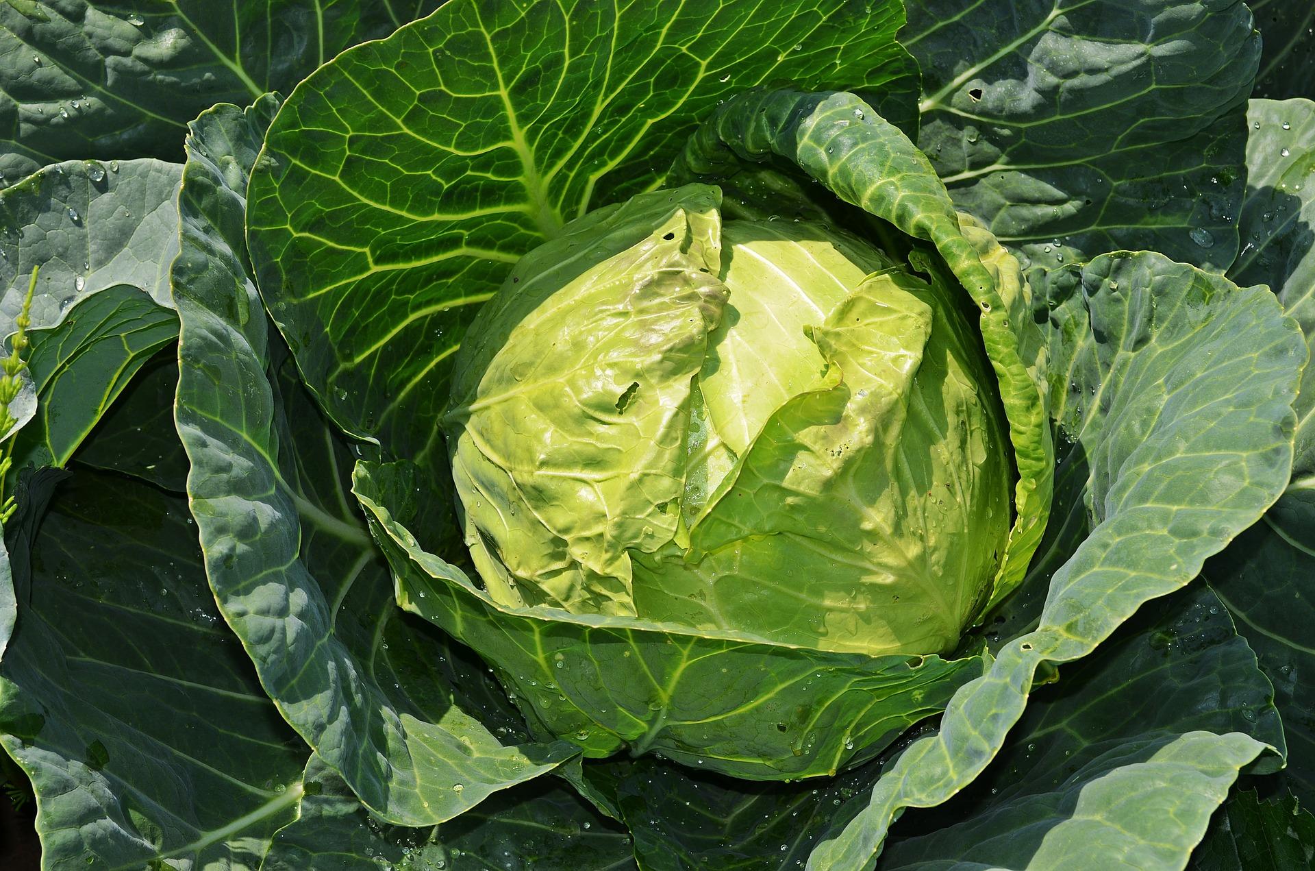 Kysané zelí - vitamínová bomba pro detoxikaci i posílení imunity