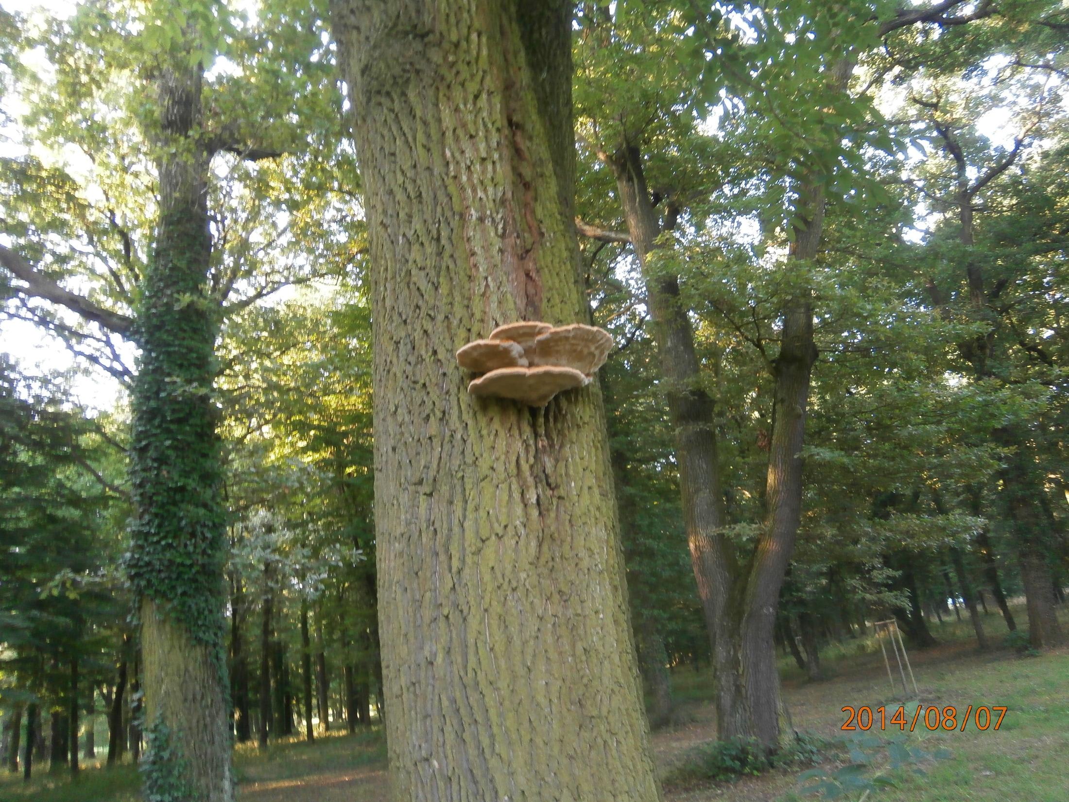 Guláš z pstřeně dubového